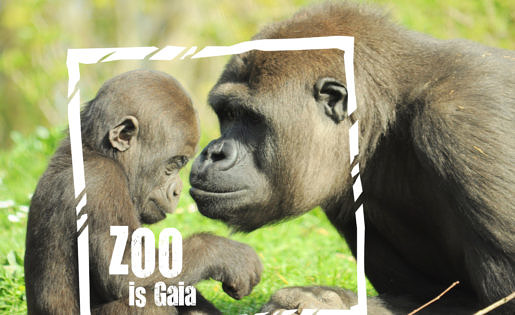 Gorilla's in de GaiaZOO